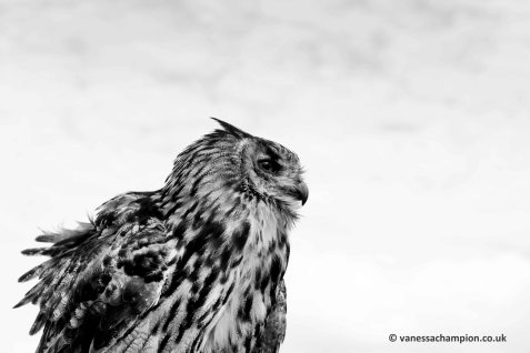 Irish Raptor Research Centre copyright Vanessa Champion (13)