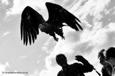 Irish Raptor Research Centre copyright Vanessa Champion (17)